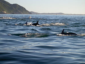 Dusky dolphin - Dusky dolphins off New Zealand