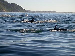 Dusky dolphin - Dusky dolphins off New Zealand