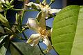 Dyer's Oleander.jpg