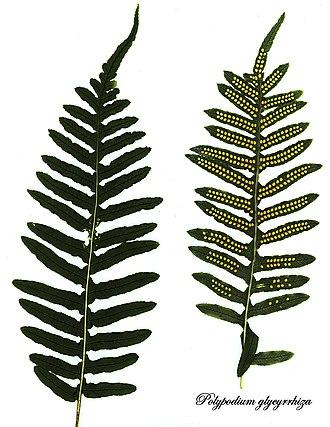 Polypodium glycyrrhiza - Image: E20161117 0001—Polypodium glycyrrhiza—RPBG (31112849815)