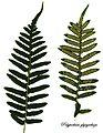 E20161117-0001—Polypodium glycyrrhiza—RPBG (31112849815).jpg