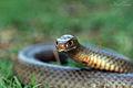 Eastern Brown Snake (Pseudonaja textilis) (8582601994).jpg