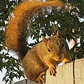Eastern Fox Squirrel 2.jpg
