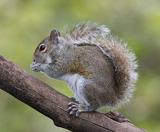 Eastern gray squirrel species of rodent
