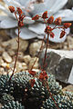 Echeveria setosa Prague 2012 3.jpg