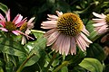 Echinacea purpurea Kims Knee High 0zz.jpg