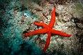 Echinaster sepositus (Red starfish, Roter Seestern) (22297176988).jpg