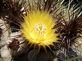 Echinocactus grusonii flower.jpg