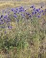 Echinops ruthenicus (in habitat) 3.jpg