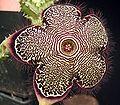 Edithcolea grandis baylissiana2 ies.jpg