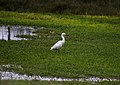 Egretta thula, Villa Wetlands, Chorrillos, Peru 06.jpg