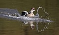 Egyptian Goose, Alopochen aegyptiacus, at Walter Sisulu National Botanical Garden, Gauteng, South Africa (35728888491).jpg