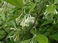 Elaeagnus multiflora 2016-05-17 0212.jpg