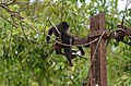 Electrocuted lion-tailed macaque infant in Valparai DSC 2562.jpg