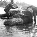 Elephant bathing.jpg