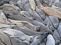 Elephant seals near Hearst Castle.jpg