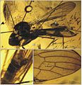 Elephantomyia (E.) irinae Fig 8.jpg