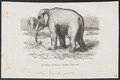 Elephas sumatranus - 1700-1880 - Print - Iconographia Zoologica - Special Collections University of Amsterdam - UBA01 IZ22000135.tif