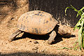 Elongated Tortoise (Indotestudo elongata) - Thailand 1.jpg