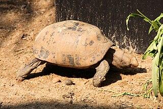 Elongated tortoise species of reptile
