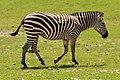Em - Equus quagga - 3.jpg