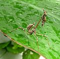 Empusa pennata. Conehead mantis. Larval stage - Flickr - gailhampshire.jpg