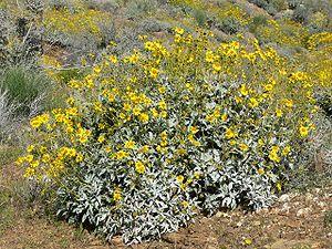 Encelia farinosa - near Palm Springs, California