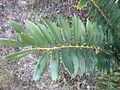 Encephalartos ferox 1c.JPG