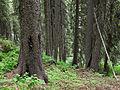Engelmann spruce below Boulder Pond Payette NF.jpg