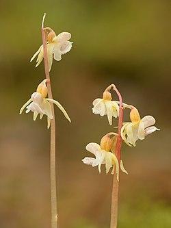 Epipogium aphyllum - Jõhvi- crop.jpg