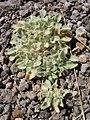 Eremocarpus setigerus-9-03-04.jpg
