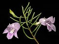 Eremophila ionantha - Flickr - Kevin Thiele.jpg