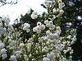 Erica formosa flowers from underneath.JPG