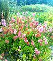 Erica verticillata bush - Kirstenbosch.jpg