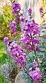 Erysimum x linifolium.jpg