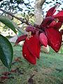 Erythrina crista-galli (4).JPG