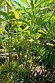 Etlingera elatior 'White Torch' - Naples Botanical Garden - Naples, Florida - DSC09812.jpg