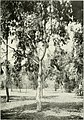 "Eucalyptus melliodora in ""Eucalypts cultivated in the United States"" (1902) (14783148965).jpg"
