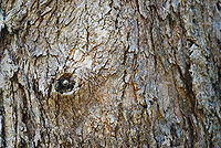 Eucalyptus punctata 01 Pengo