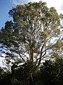 Eucalyptus viminalis Labill. (AM AK296281-1).jpg