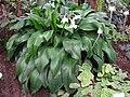 Eucharis amazonica - Berlin Botanical Garden - IMG 8702.JPG