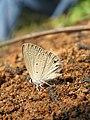 Euchrysops cnejus Fabricius, 1798 – Gram Blue at Aralam Wildlife Sanctuary 2016 (9).jpg