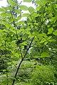 Euonymus sachalinensis kz05.jpg