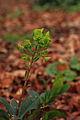 Euphorbia amygdaloides var. robbiae 02.JPG