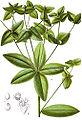 Euphorbia dulcis Sturm28.jpg