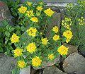 Euphorbia epithymoides4 ies.jpg