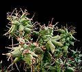 Euphorbia horrida monstrosa2 ies.jpg