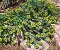 Euphorbia rigida 1.jpg