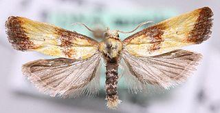 <i>Eupoecilia</i> Genus of tortrix moths