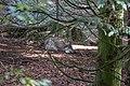 Eurasian Grey Wolf (Canis lupus lupus) (CWPG).jpg